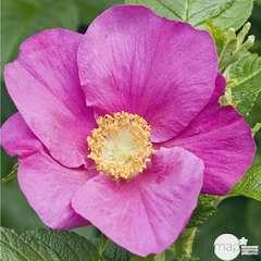 Rosa rugosa : H 40/60 cm ctr 4 litres