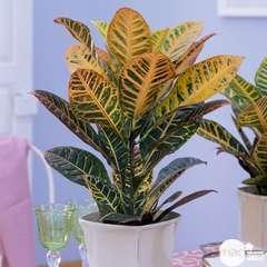 Croton : 1 pied H.40cm pot