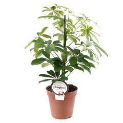 Schefflera : H.50/60cm pot