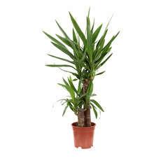 Yucca : 2 cannes H.30, pot d.17cm
