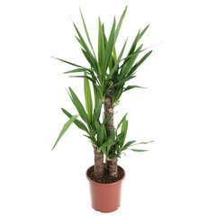 Yucca : plante gd modèle 3 cannes H.60,30,15cm pot d20cm