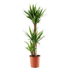 Yucca : plante gd modèle 3 cannes H.90,45,15cm pot d24cm