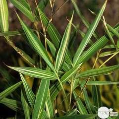 Phyllostachys aurea :hauteur 200/250 cm conteneur 30 litres