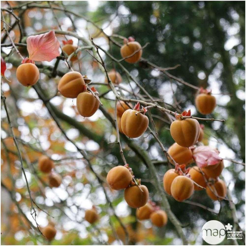 Graines kaki Bonsai exotiques belle Diospyros Kaki arbre fruitier Maison Plante