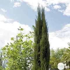 Cupressus Sempervirens Stricta :  H. 175/200 cm