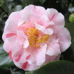 Camellia japonica : H 40/50 cm, coloris variables