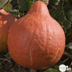 Plant de potimarron 'Uchiki Kuri' : pot de 0,5 litre