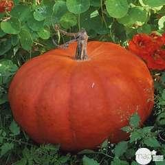 Plants de potirons 'rouge vif d'Etampes' : barquette de 6 plants