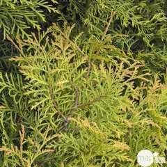 Thuya occidentalis Rheingold, H : 30/40 cm, ctr 4L