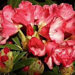 Rhododendron yakushimanum : H 40/50 cm, ctr 7 litres