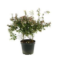 Abelia x grandiflora : ctr 7 litres