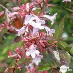 Abelia x ' Edward Goucher ' : ctr 7 litres  (rose-lilas)