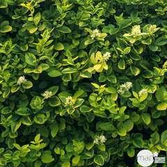 Ligustrum Ovalifolium aureum : H80/100cm 10L