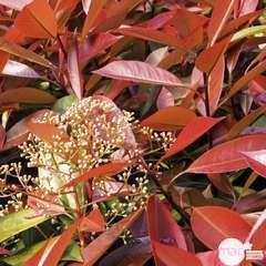 Photinia X Fraseri red Robin H100/125cm 15L