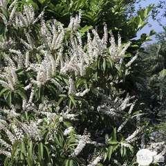 Prunus lusitanica : H 100/125 cm ctr 25 litres
