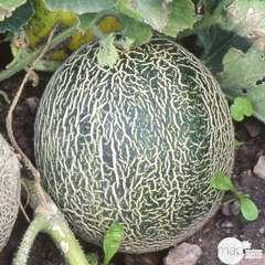 Plant de melon 'Galia' F1 : pot de 0,5 litre