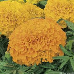 Rose d'inde : barquette de 10 plants