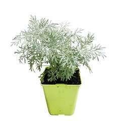 Plant d'absinthe : pot de 1 litre