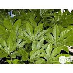 Fatsia japonica : LV15