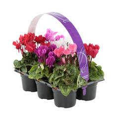 Mini cyclamen : 6 plants en godets de 8cm Coloris variables