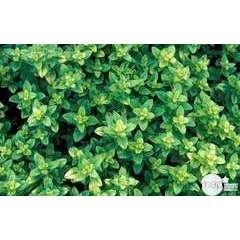 Plant d'origan : pot de 1 litre
