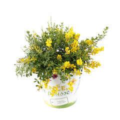Cytisus x racemosus : conteneur 3 litres