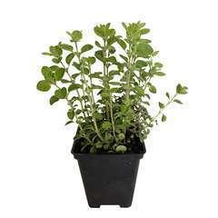 Plant d'origan commun : en godet