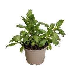 Plant de verveine officinale : pot de 1 litre