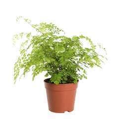 Capillaire : plante Ø15cm, pot