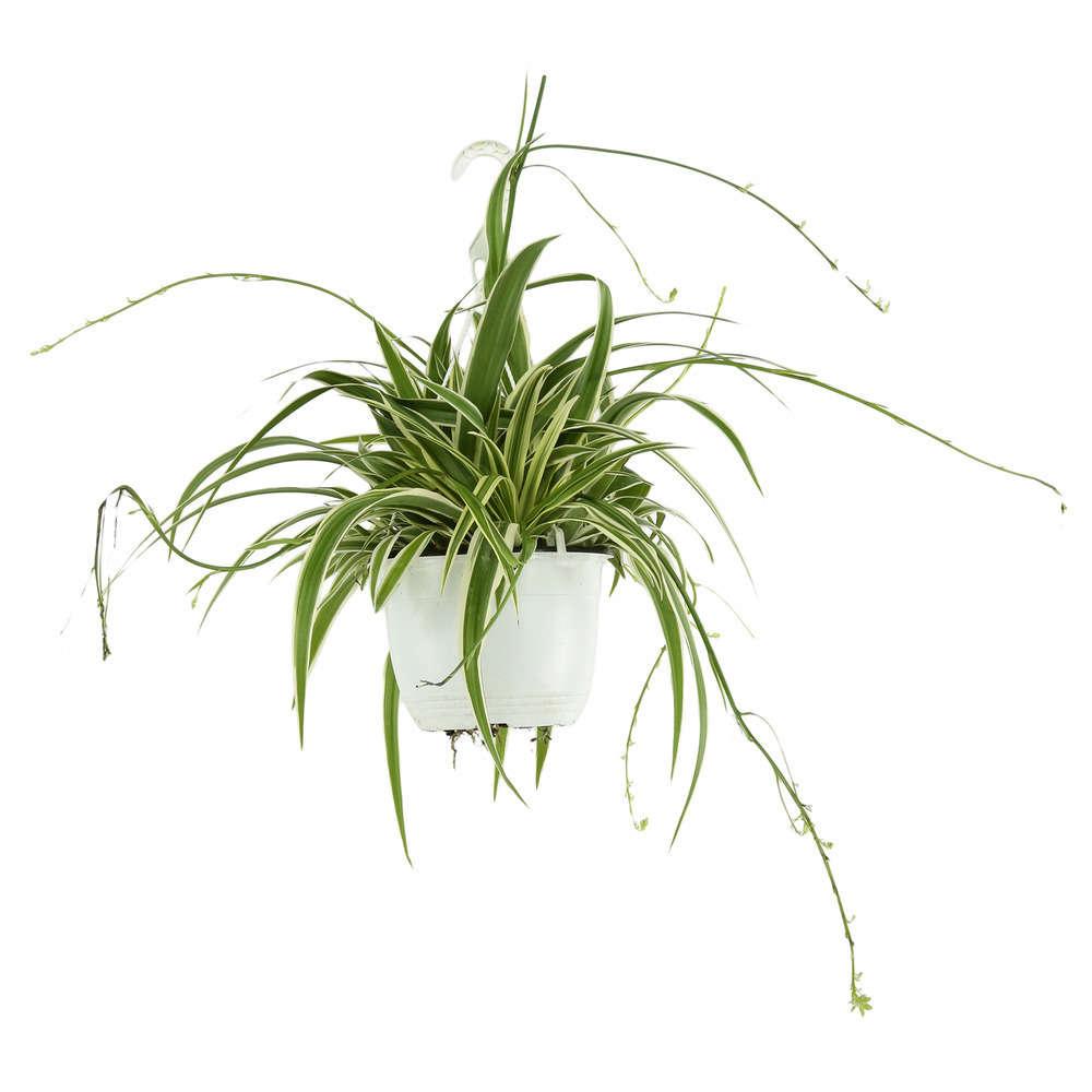 plante collier de perle truffaut