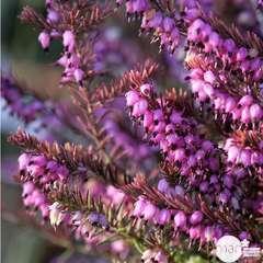 Erica darleyensis: ctr 5 L Coloris variables