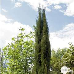 Cupressus Sempervirens Stricta :  H. 100/125 cm