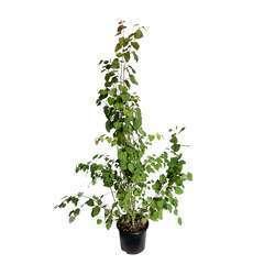 Cercidiphyllum japonicum : ctr 15 litres