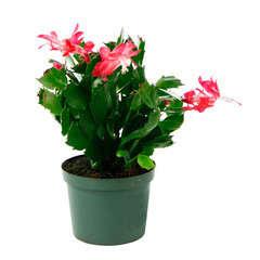 Cactus de Noël : Ø11cm, pot