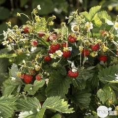 Plant de fraisier 'Mount Everest' : pot de 0,5 litre