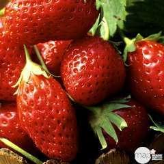 Plant de fraisier 'Mara des Bois' : pot de 0,5 litre