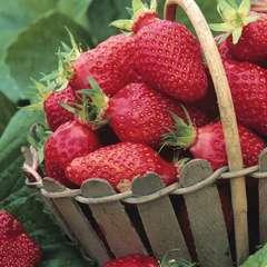 Plant de fraisier 'Gariguette' : pot de 0,5 litre