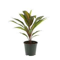 Cordyline :  H.50cm pot