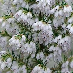Erica arborea 'Pink Joy' : H 40/60 cm, ctr 7 L (blanche)