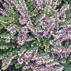 Erica darleyensis hiver : jardinière