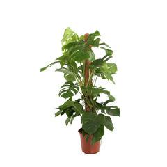 Philodendron : H.120cm, pot