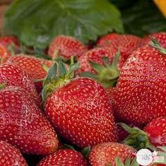 Plants de fraisiers 'Cigaline' : barquette de 6 plants