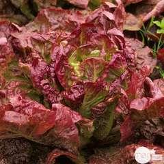 Plants de batavia rouge Grenobloise : barquette de 12 plants