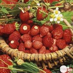 Plant de fraisier 'Reine vallées' : pot de 0,5 litre