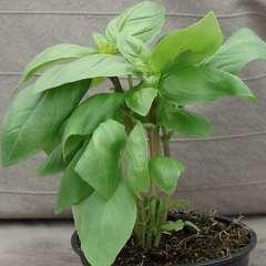 Plant de basilic anis : pot de 1 litre