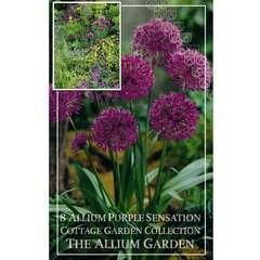Bulbes d'alliums 'Purple Sensation' - x8