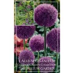 Bulbe d'allium giganteum - x1