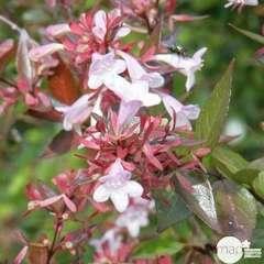Abelia variés pot 4L