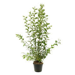 Ligustrum ovalifolium : ctr 7 litres