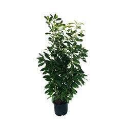 Prunus laurocerasus ' Caucasica  ' : H 125/150 cm ctr 20 litres
